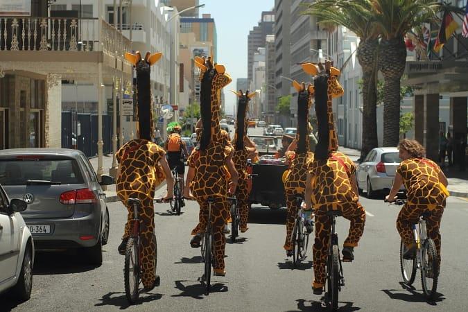 BOS Giraffes in Cape Town 2